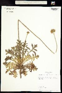 Image of Gaillardia suavis