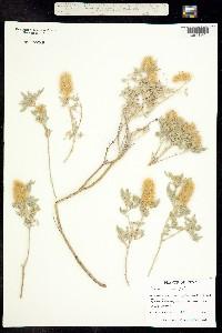 Image of Dalea wrightii