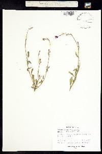 Oenothera rosea image