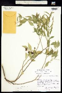 Agonandra racemosa image