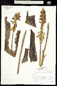 Aloe vera image