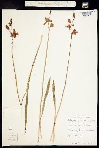 Image of Calopogon pulchellus