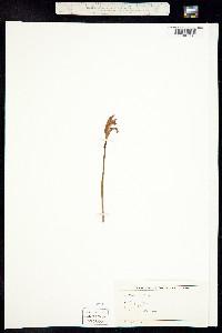 Image of Arethusa bulbosa
