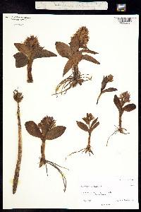 Image of Dactylorhiza aristata