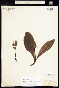 Image of Galearis spectabilis