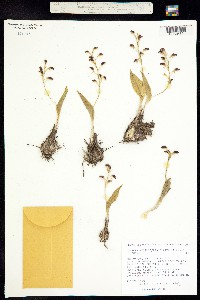 Image of Liparis vexillifera