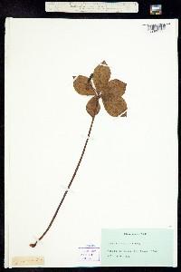 Image of Isotria verticillata