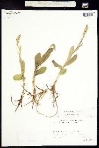 Image of Leucorchis albida