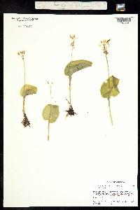 Image of Malaxis brachystachys