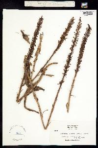 Platanthera elegans image