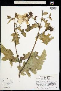 Argemone grandiflora image
