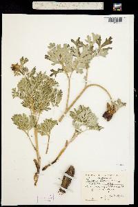Paeonia brownii image