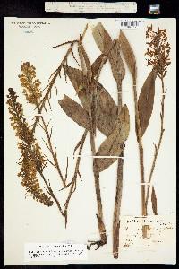 Image of Platanthera blephariglottis