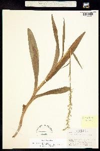 Image of Platanthera limosa
