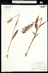 Image of Platanthera lacera