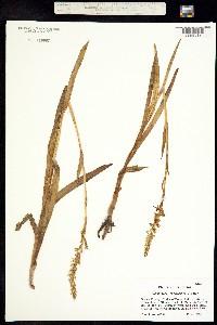Platanthera leucophaea image