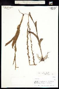 Platanthera limosa image