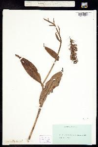 Image of Platanthera grandiflora