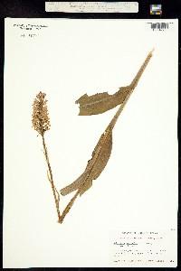 Image of Platanthera psycodes