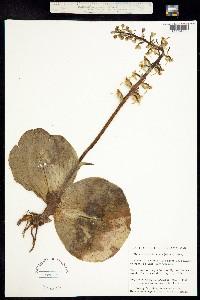 Image of Platanthera orbiculata