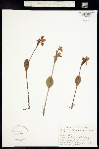 Image of Pogonia ophioglossoides