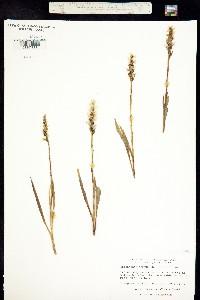 Image of Spiranthes cernua