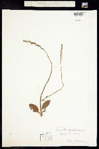 Image of Spiranthes beckii