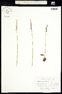 Image of Spiranthes lacera