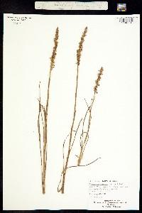 Image of Spiranthes vernalis