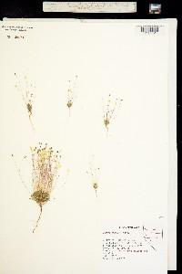 Canbya aurea image