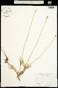 Image of Papaver dubium
