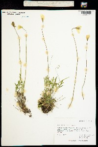 Papaver lapponicum image