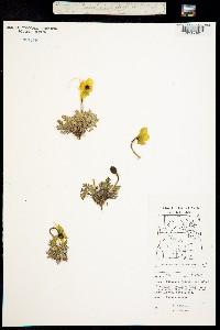 Papaver radicatum image