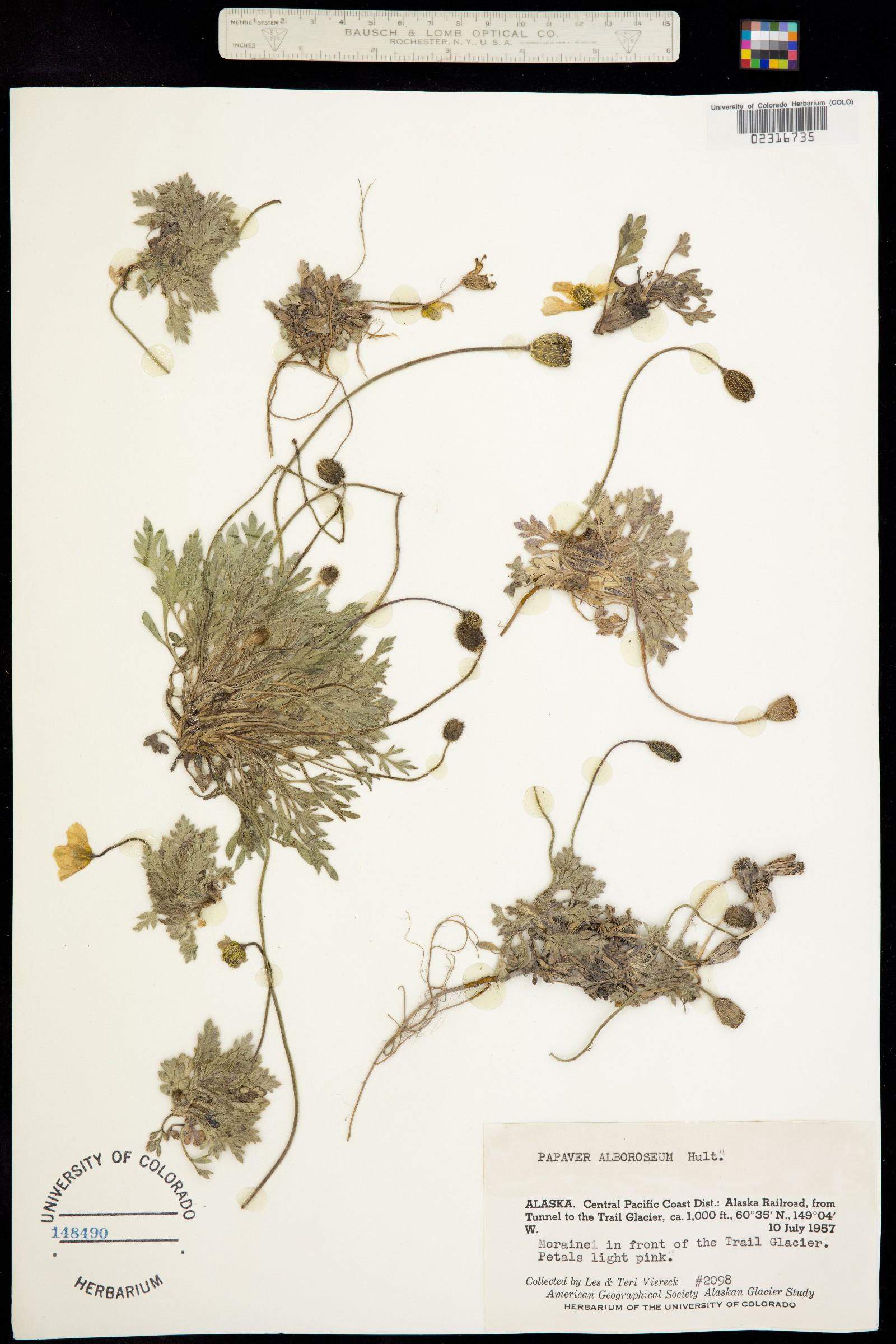 Papaver alboroseum image