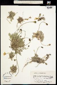 Image of Papaver alboroseum