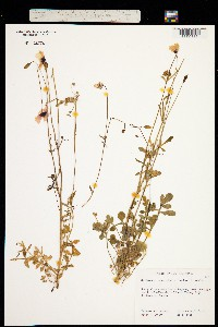 Image of Papaver heterophyllum