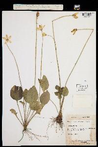 Parnassia caroliniana image