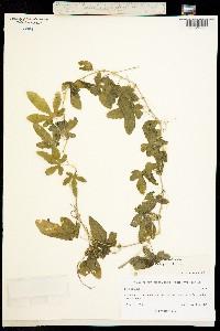Image of Passiflora bryonioides