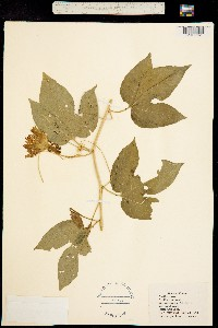 Image of Passiflora incarnata