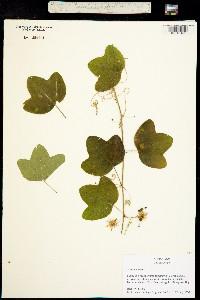 Image of Passiflora lutea