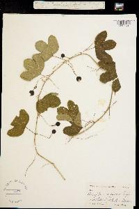Image of Passiflora affinis