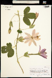 Image of Passiflora mollissima
