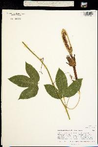 Passiflora mollissima image