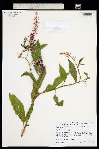 Image of Phytolacca americana