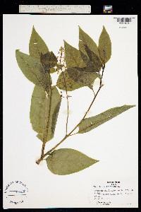 Phytolacca decandra image