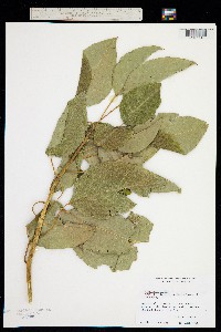 Phytolacca dioica image