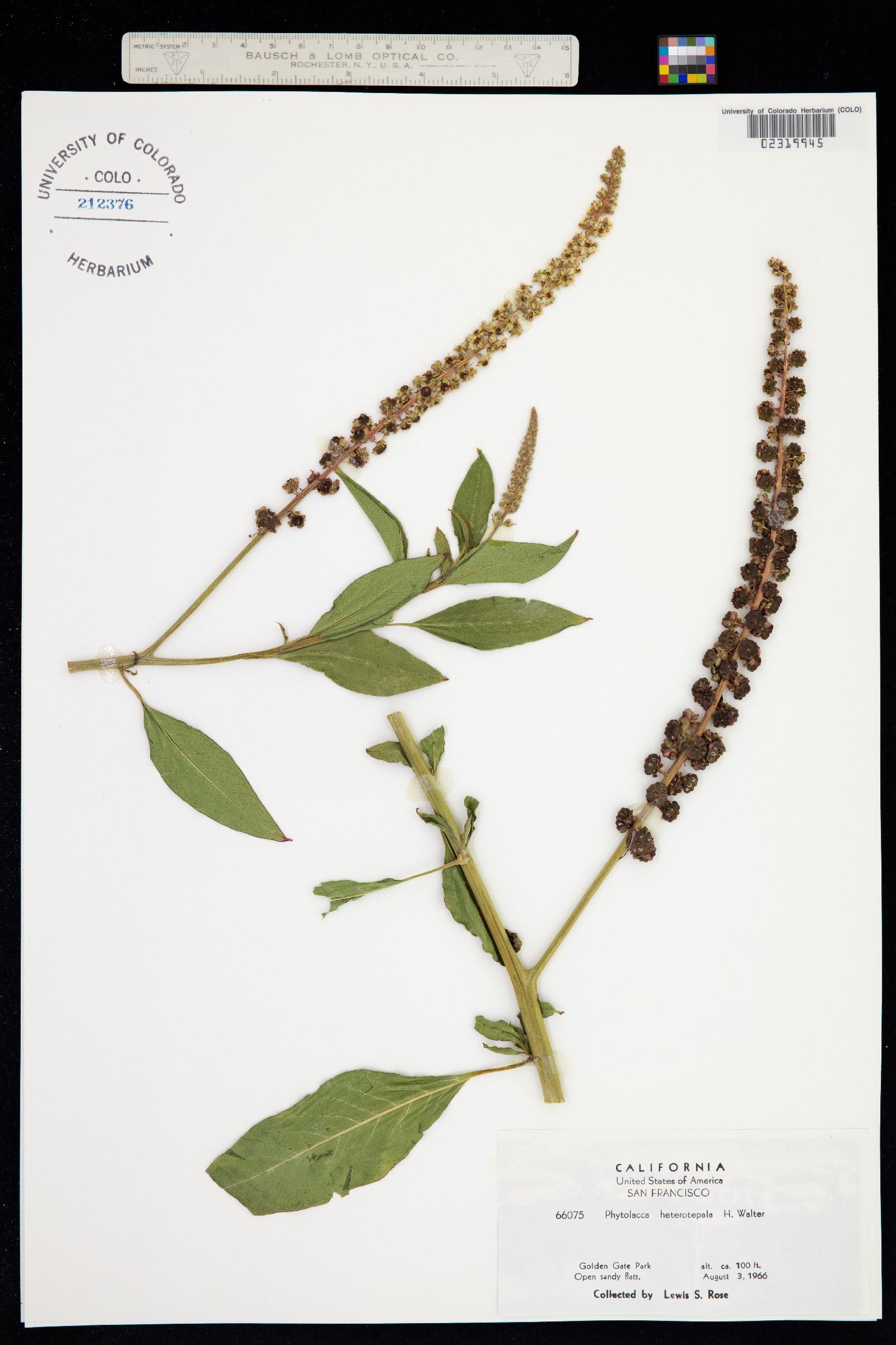 Phytolacca heterotepala image