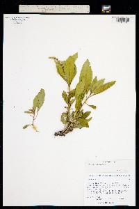 Image of Phytolacca octandra