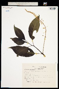 Image of Phytolacca rivinoides