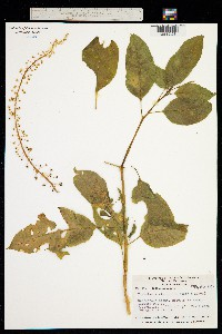 Phytolacca rivinoides image